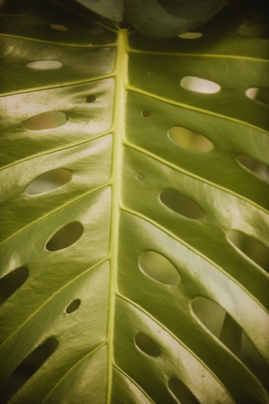 A monstera deliciousa thrives in the Eden Project's Rainforest Biome, creating large fenestrations. The plants create these holes on their own when they are flourishing, and they allow air to pass through them.   Wanderlost Magazine | Mary Kathryn Carpenter