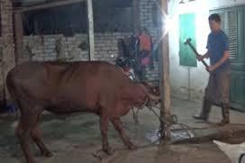 cattle slaughter.jpg