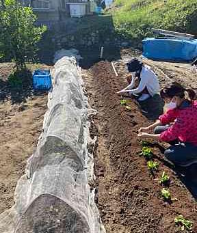 食育 白菜の成長
