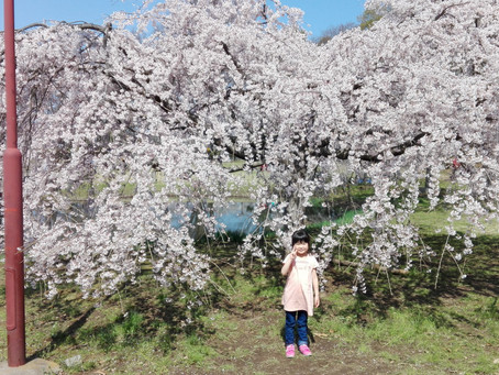 清瀬 金山公園 桜
