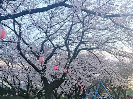 桜の名所?「清瀬 台田運動公園」