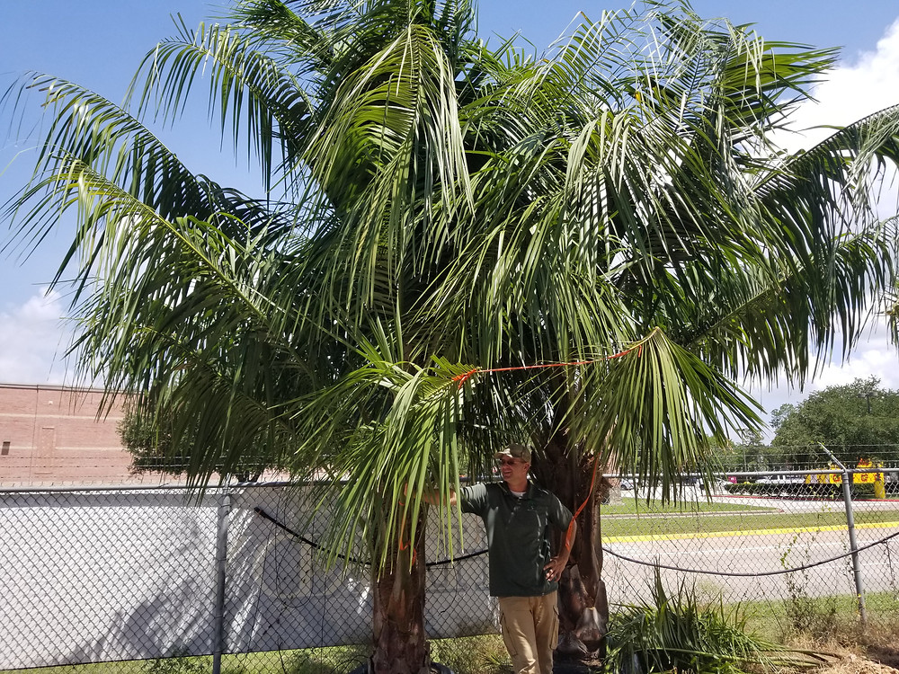 Mule Palm, cold-hardy Queen Palm, Queen and Pindo, Mule Palms for Texas