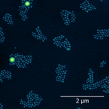 In situ AFM image shows the assembly of nanoparticls at the water-oil interface