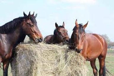 Horses Eating hay.jpg