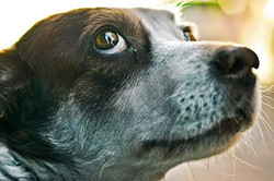 Dogs-with-wide-eyes-Whale-eye-in-dogs-600x400.jpg.optimal