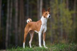 pointy-ears-dog-baenji-1580328289