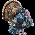 Watercolor Turkey 1
