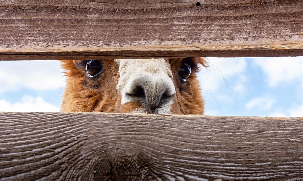 A camel peeking through a fence.