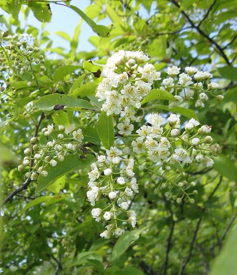chokecherry-western-green-flower-public-