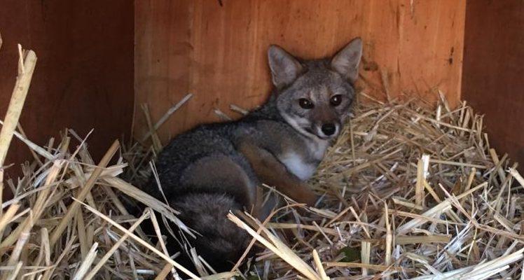 Atacaron a un zorro:
