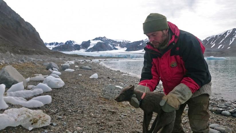 zorro polar recorre 3.500 kilómetros