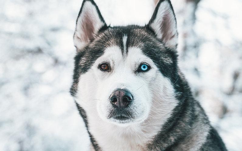 Lapland grønrejs togrejser Sverige Norge rejser udflugt dagstur hundeslæde huskey