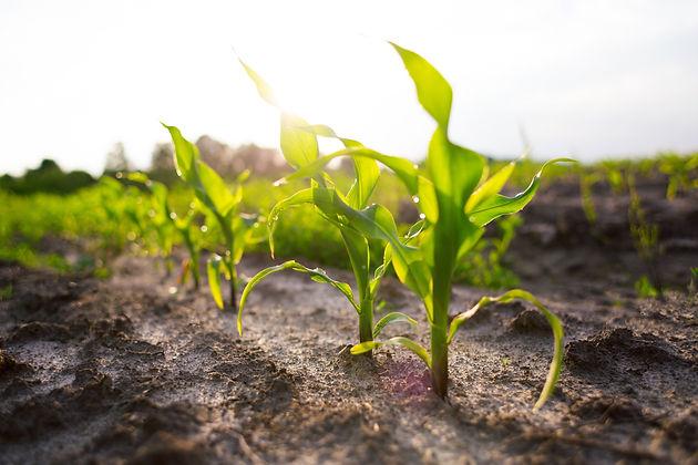 Corn Plant.jpeg