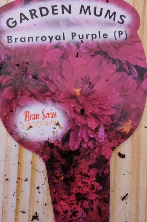 Chrysanthemum Branroyal Purple