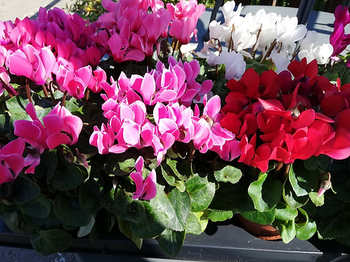 Cyclamen assorted colours