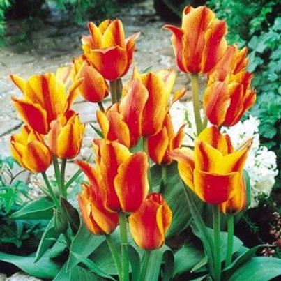Tulip 'Compostella' (10 pack)