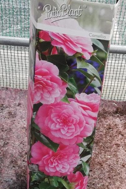Camellia - Pink