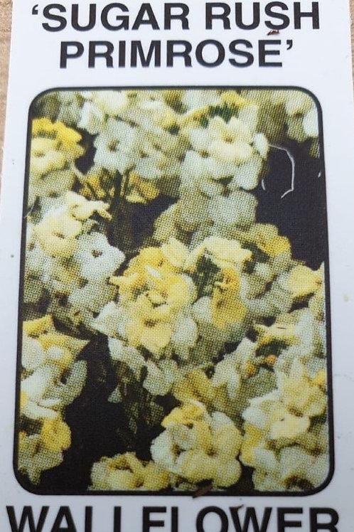 Wallflower - Sugar Rush Primrose (6 packs)