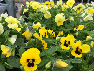 This weeks 'Plant Of The Week' is thePansy