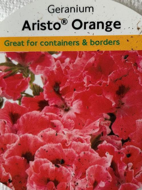 Geranium Regal - Aristo Orange