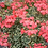 Thumbnail: Geranium - Variegated Frank Headley
