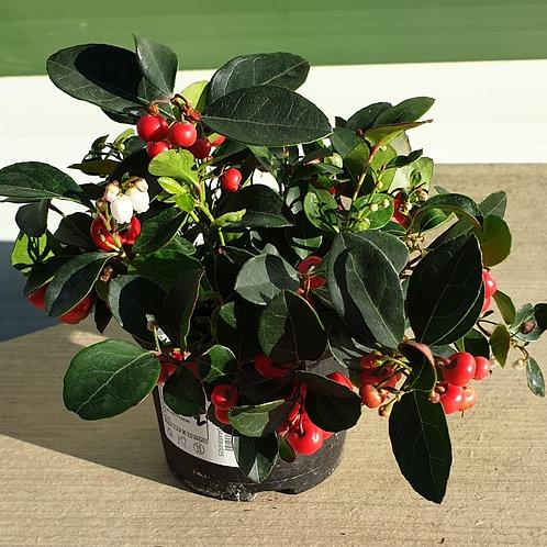 Gaultheria Big Berry