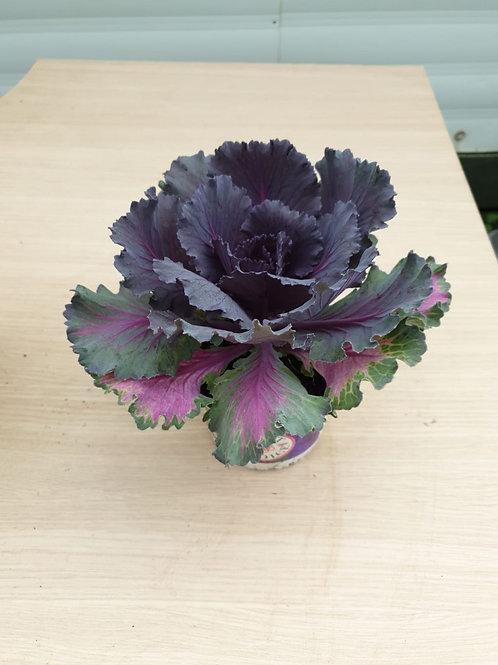 'Ornamental Cabbage' Brassica - Purple