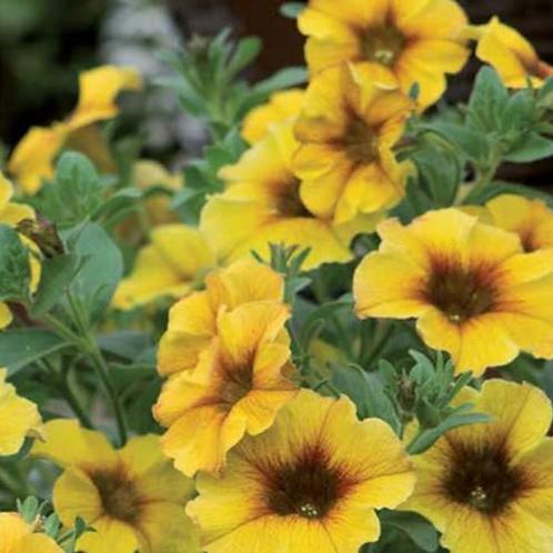 Petchoa - Caramel Yellow