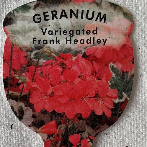 Geranium - Variegated Frank Headley