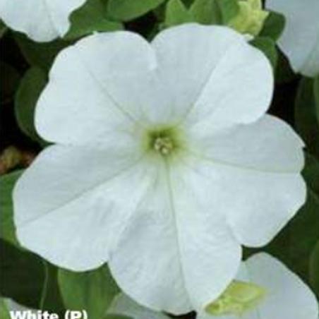 Petunia Fanfare White