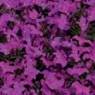 Lobelia Infinity Bright Rose (per pot)