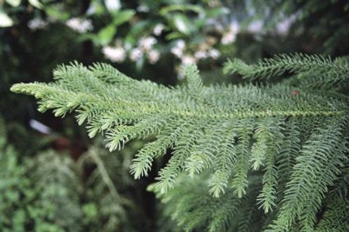 Auracaria heterophylla - Norfolk Island Pine
