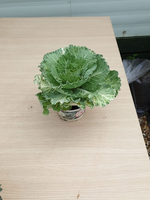 'Ornamental Cabbage' Brassica - Green