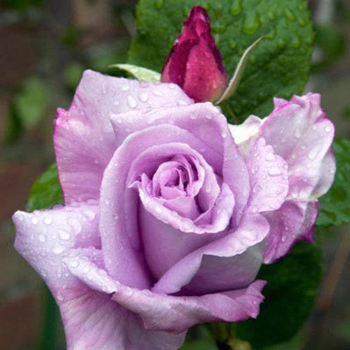 Rose Blue Moon Hybrid Tea