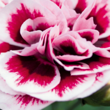 Dianthus carophyllus - Sweet Pleasure purple picotee