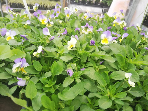 Viola 'Ice Baby' blue and yellow (4 Pack)