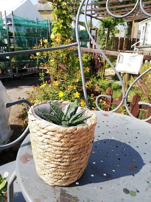 Houseplant, in wicker pot