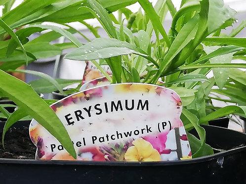 Erysimum Pastel Patchwork