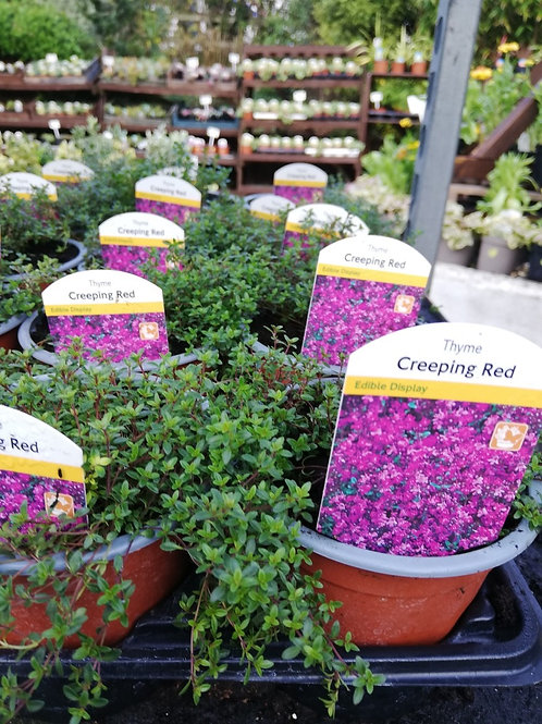 Thyme 'Creeping Red'