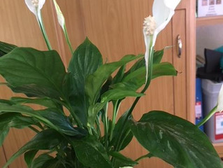 Fantastic price on Peace Lilly houseplants