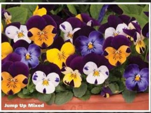 Viola sorbet -  Jump up mix plug plants from 1st Feb
