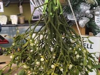 Mistletoe in stock