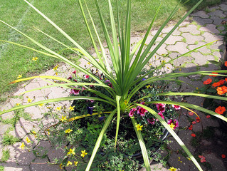 This weeks 'Plant Of The Week' is the Cordyline.