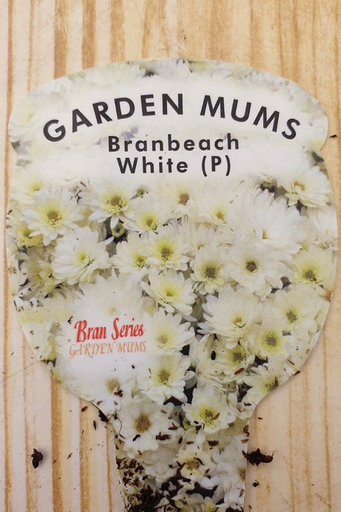 Chrysanthemum Branbeach white