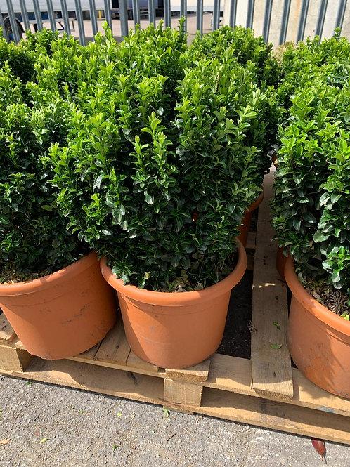 Euonymus Benkomasaki Green bush