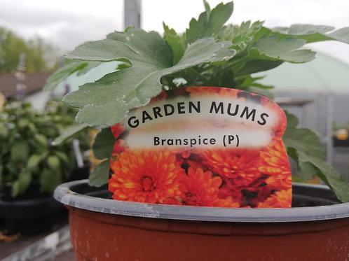 Chrysanthemum Branspice orange