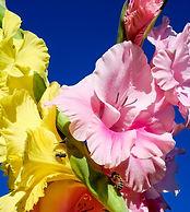 gladiolus-2670974_960_720.jpg