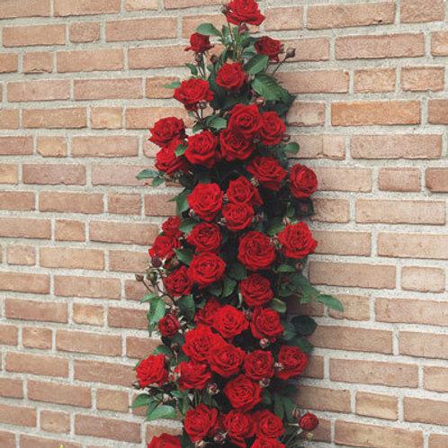 Climbing Rose - Pauls Scarlet