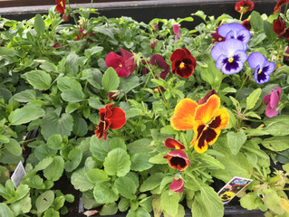 Pansy / Viola plants only £1.95 for a 6 pack.