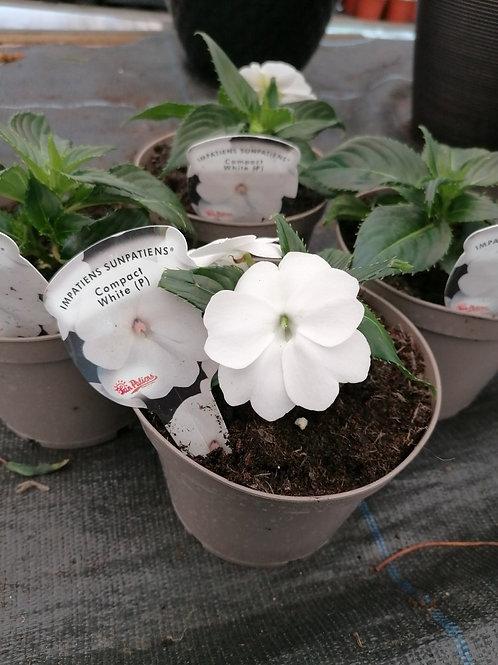 New Guinea Sunpatiens Compact White